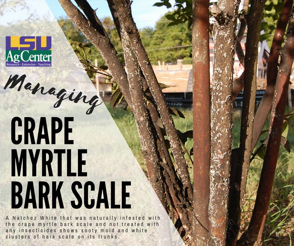 Crape Myrtle Bark Scale Matthews Landscape