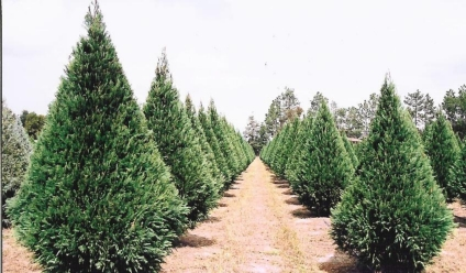 Christmas Tree Farms In Georgia.Buying And Caring For Your Christmas Tree Matthews Landscape
